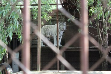 The white tiger wasn't either.