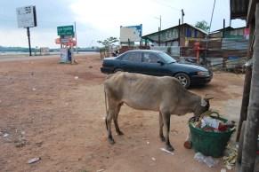 Vacas (alimento) y búfalos (trabajo) se extienden por todo el paisaje rural. Y se alimentan como pueden.