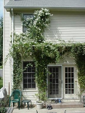 pergola to garage with vines  Thayer  Reed