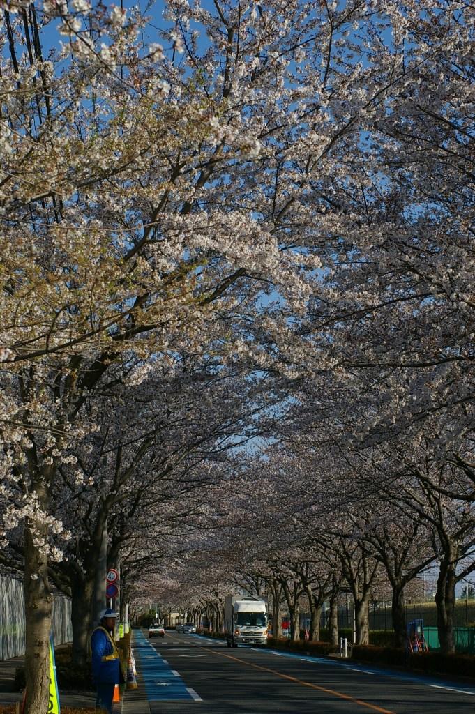 大沢グランド通りの桜並木