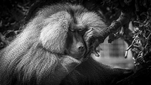 baboon, Perth Zoo, Australia