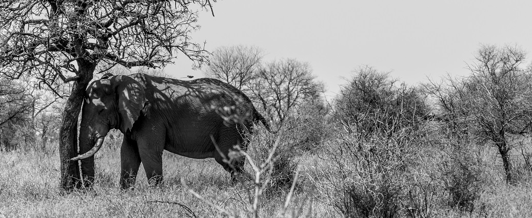 Elephant Panorma, Kruger Park, South Africa