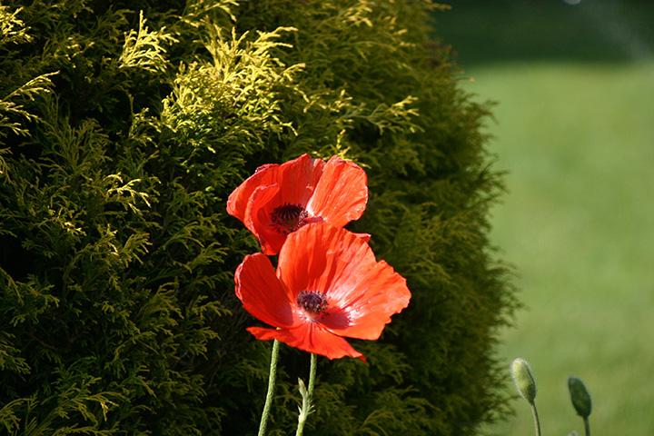 """Maria Iliou """"Red Poppies"""""""