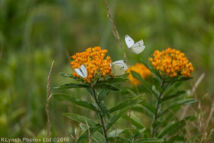 13 butterflys_11