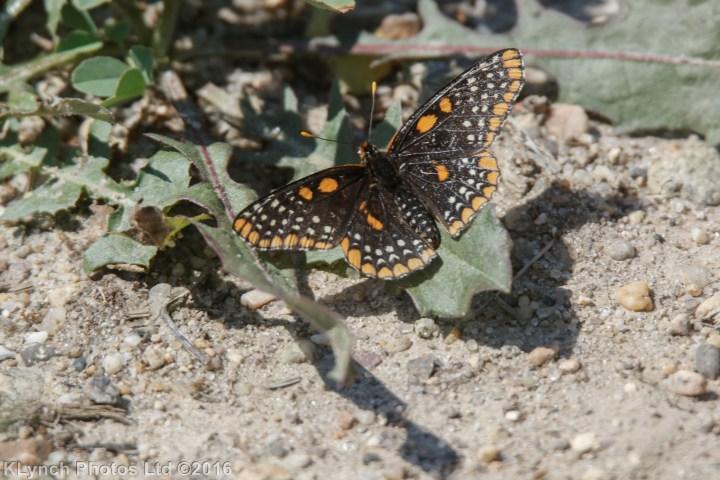 17 butterfly_15