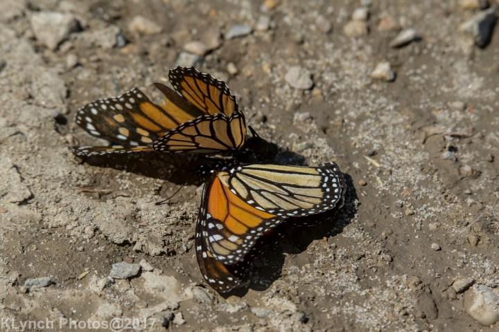 19 monarch_15