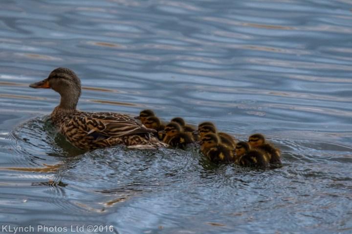 03 duckingling_4