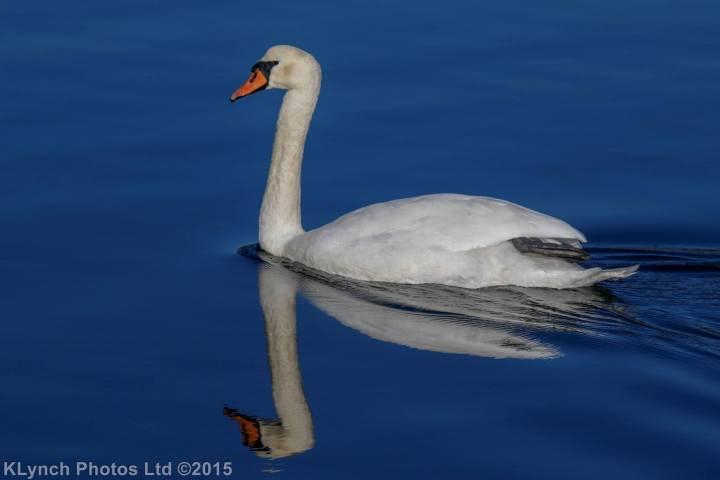 01 Swans