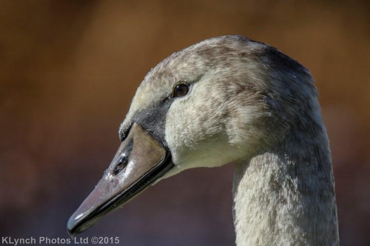 03 Swans