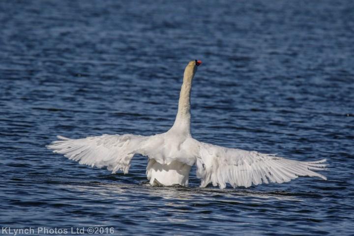 06 Swans