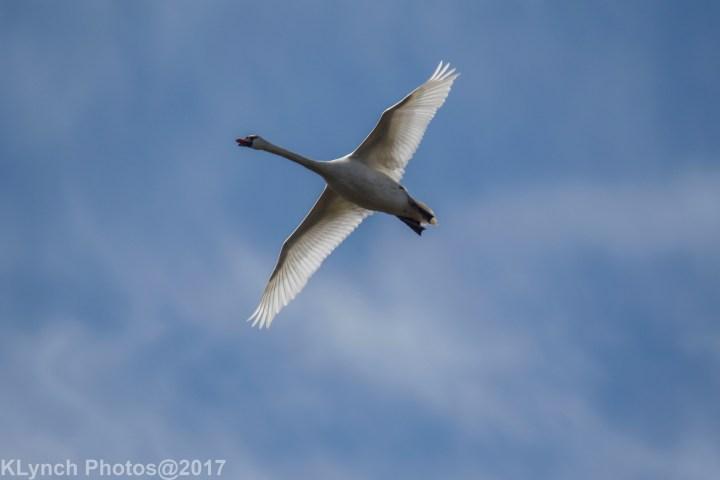 07 Swans
