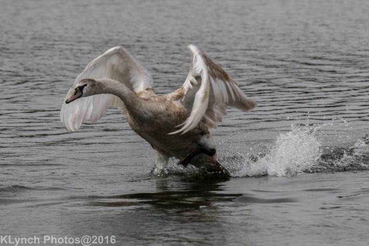 09 Swans