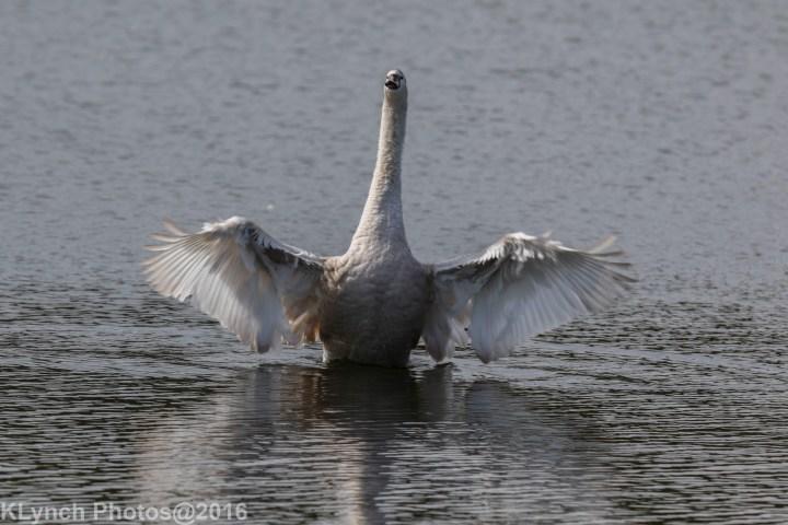 10 Swans