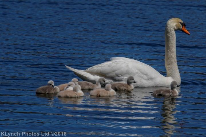 11 Swans