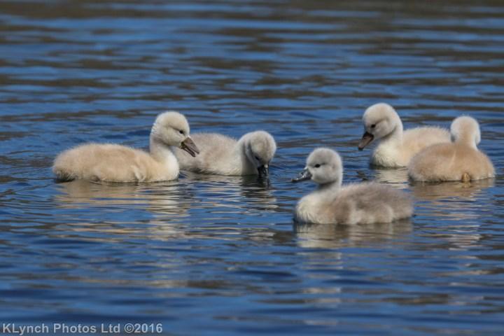 12 Swans