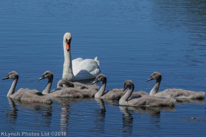 13 Swans