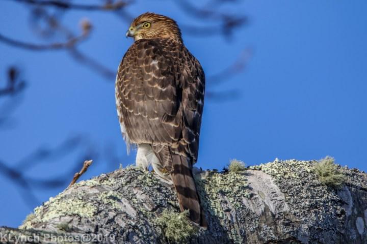 18 hawk