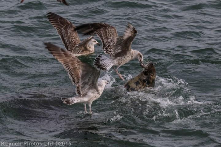 01 Gulls