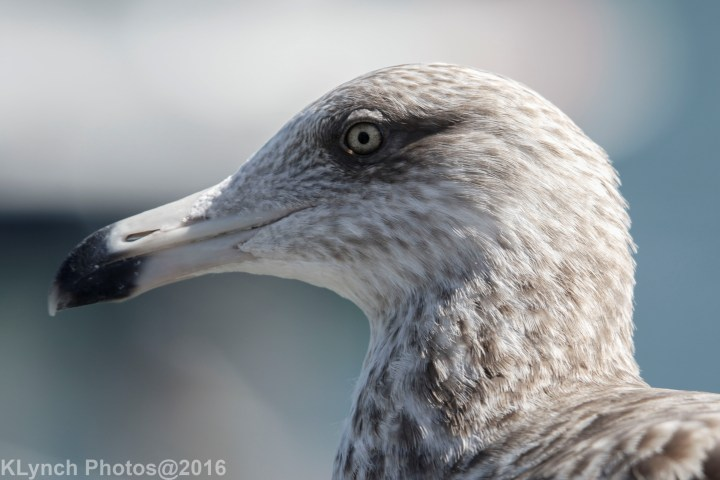 23 Gulls