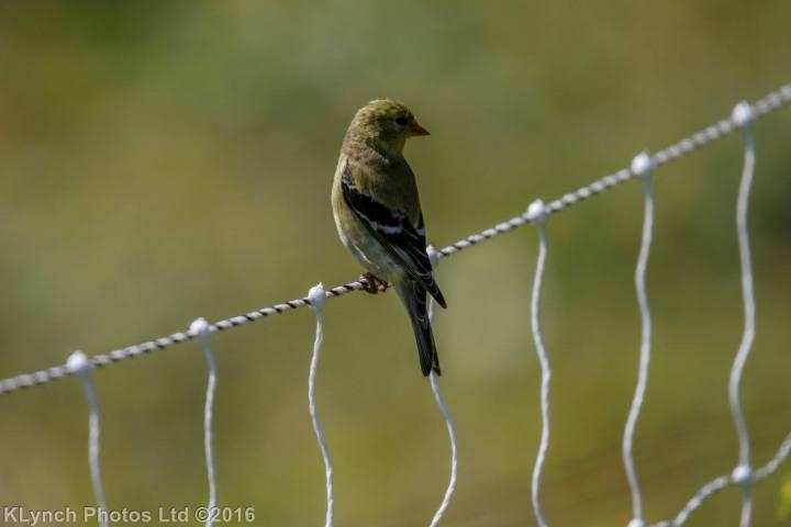 01 goldfinch