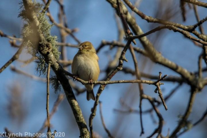 02 goldfinch