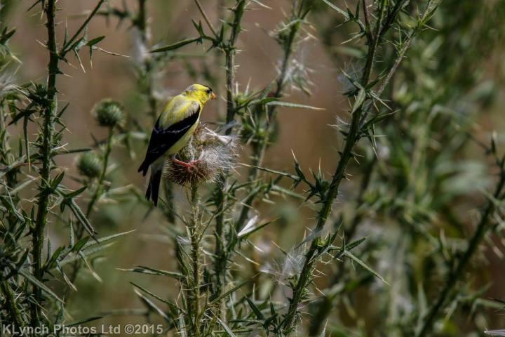 05 goldfinch
