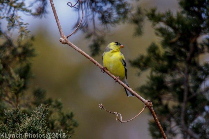 11 goldfinch