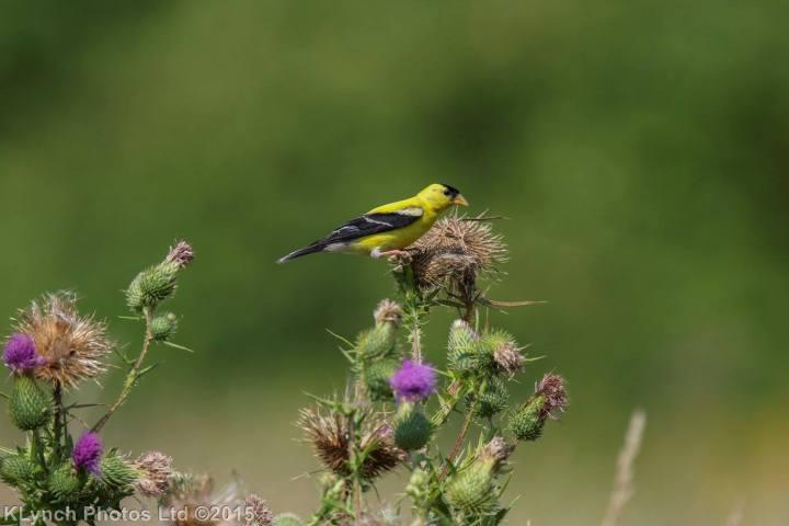 15 goldfinch