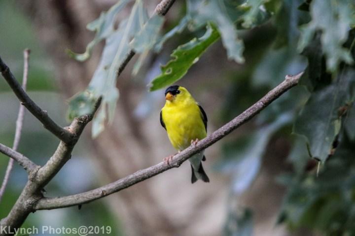 23 goldfinch