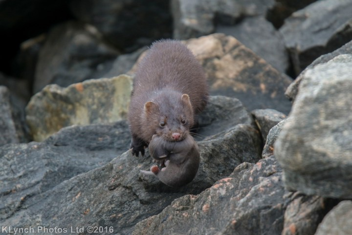 A mink mother and her newborn