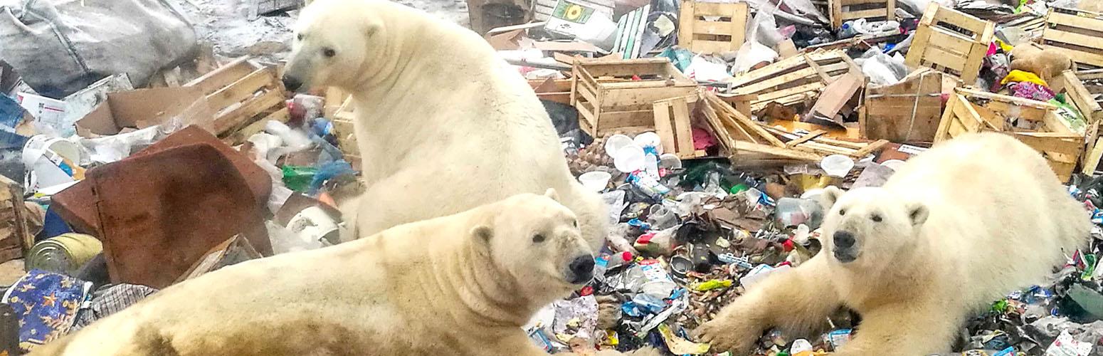 Polar Bears Invade Belushya Guba, 2019