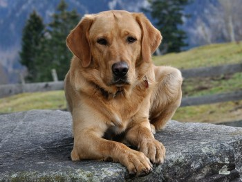 old dog, dog with arthritis, dog arthritis, labrador