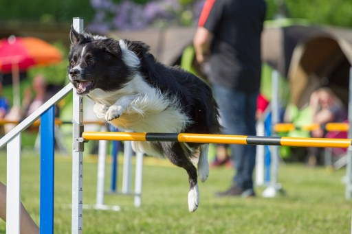 dog agility, dog jumping, dog iliopsoas strain, dog treamtnet, dog rehab, dog rehabilitation, dog osteoapthy