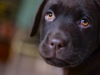 Labrador retriever, dog rehab, dog rehabilitation, dog treatment, dog osteopathy