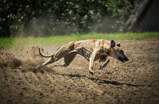 dog running, dog iliopsoas injury, dog iliopsoas strain,