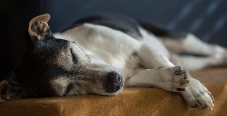 old dog, dog arthritis, dog arthritis home care, dog with arthritis
