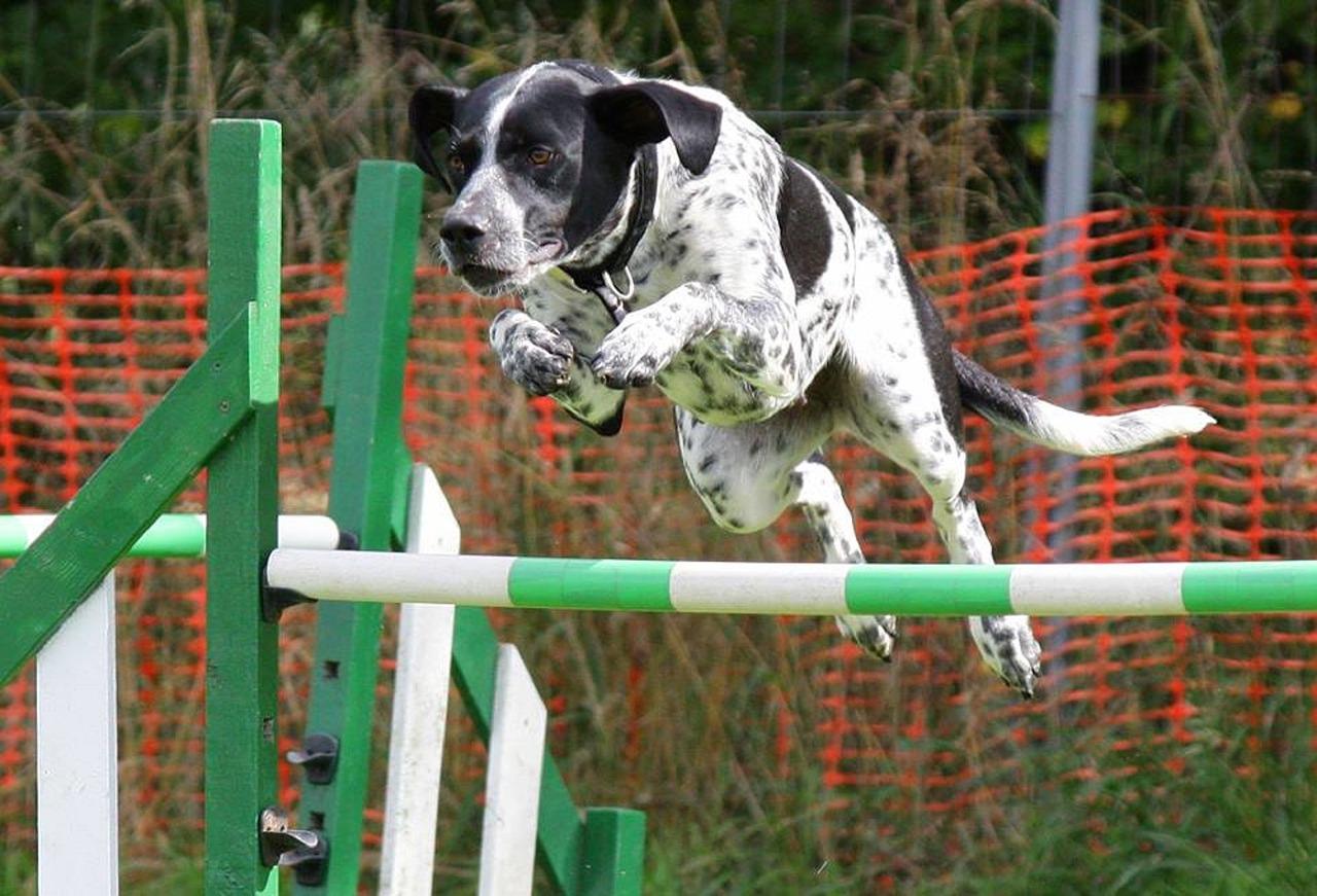 dog agility, sports dog, dog rehabilitation, dog treatment