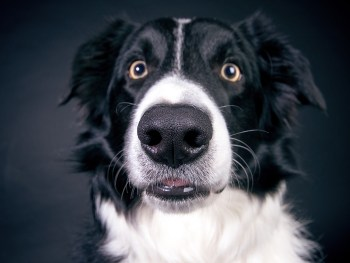 border collie, dog treatment, dog rehab, dog rehabilitation