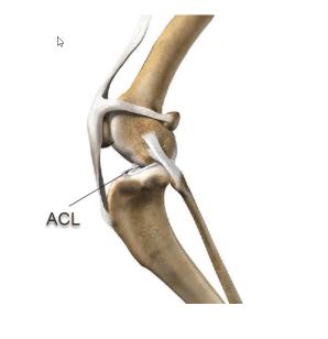 dog ACL, dog knee