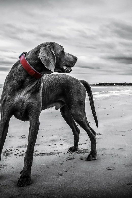 weimaraner, dog beach