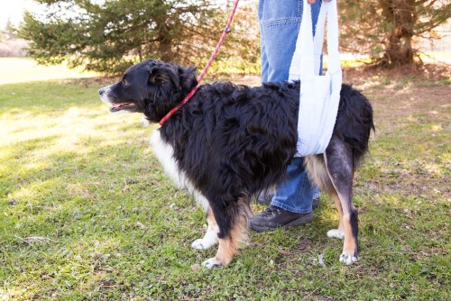 dog acl surgery