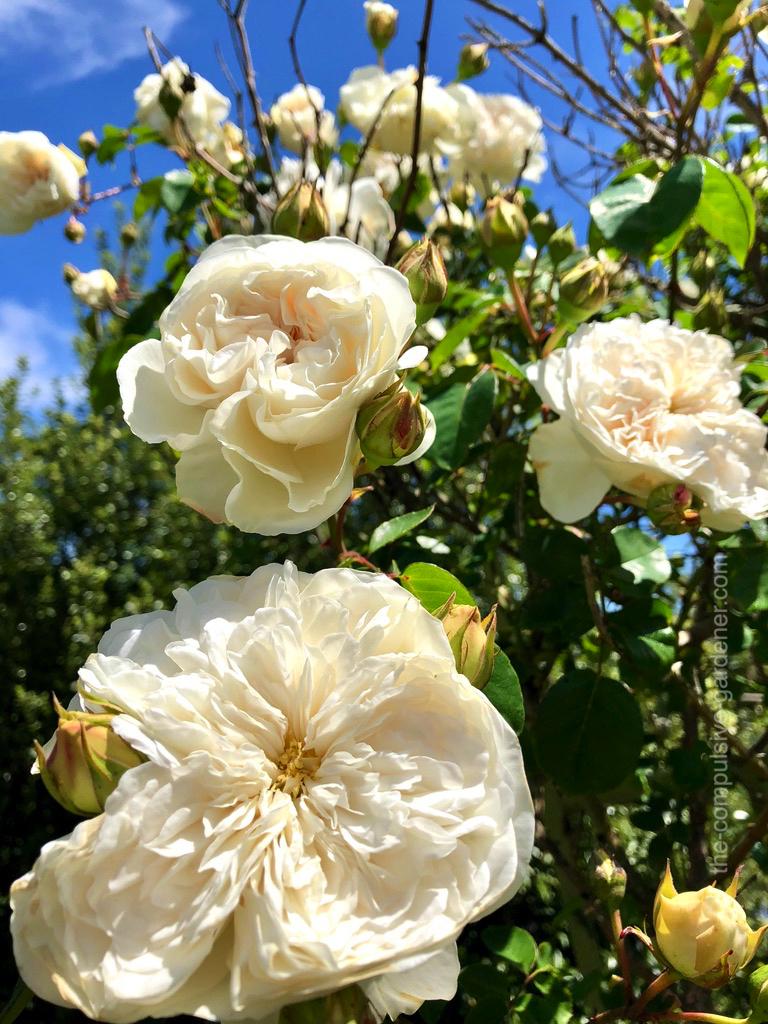 """White heirloom rose """"Sombreuil"""""""
