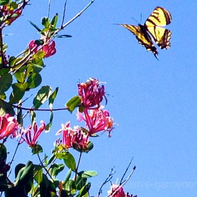 Western Tiger Swallowtail butterfly and honeysuckle