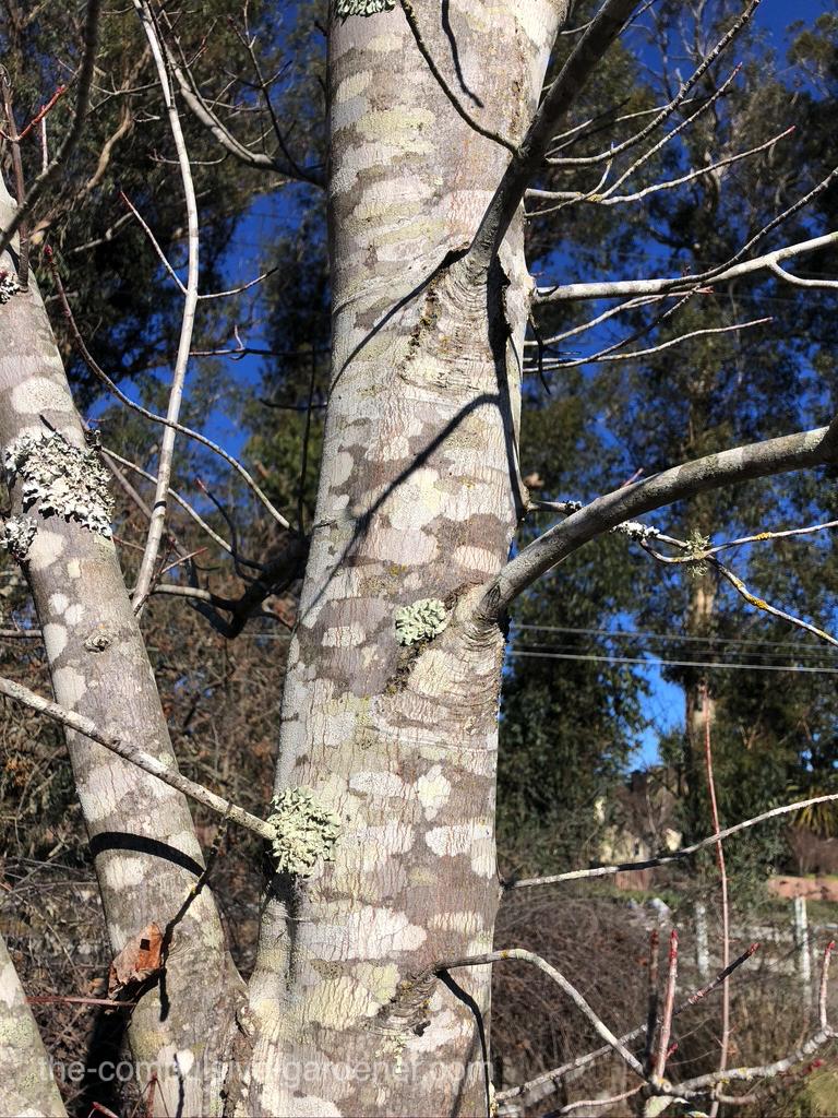 Maple bark