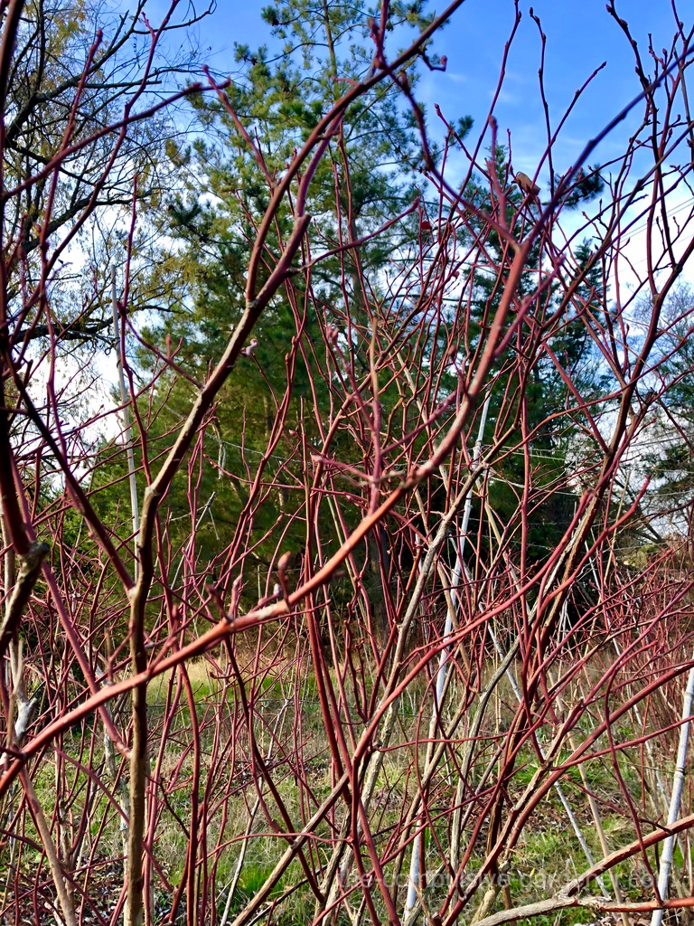 Red twigs of blueberries