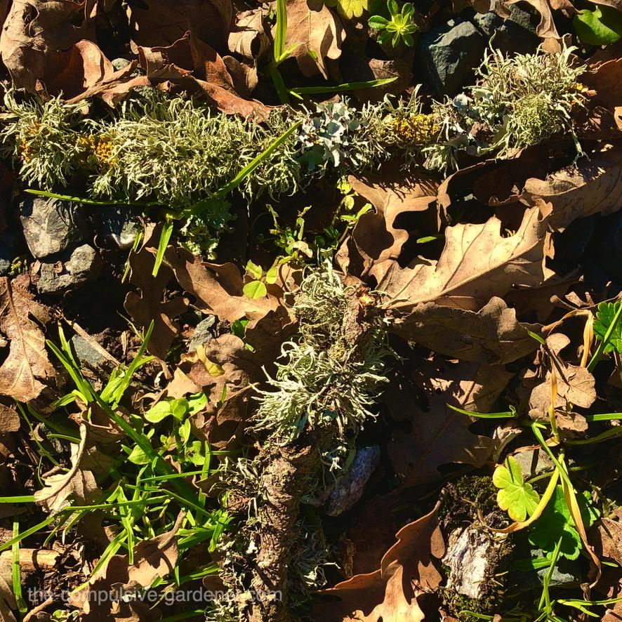 Moss on oak twigs