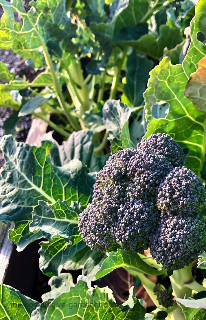 Broccoli in potager garden