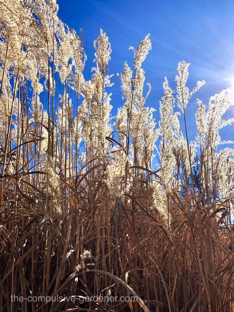Ornamental grass stalks in winter