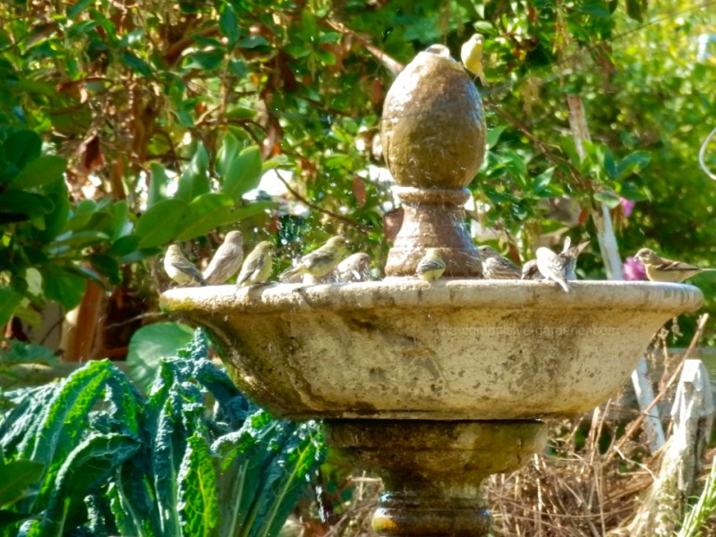 Goldfinches at fountain