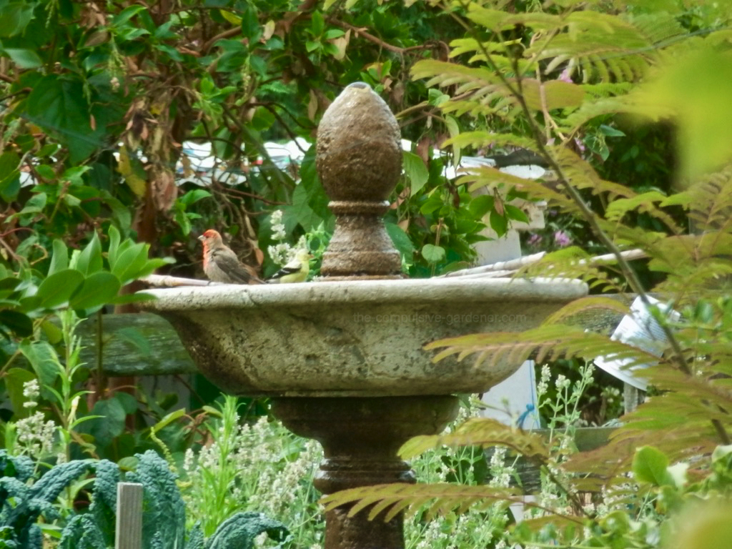 Goldfinch and House Finch at Fountain